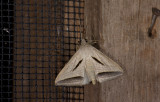 Noctuidae; Catocalinae; Perasia sp.  1105.jpg