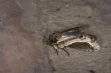 Notodontidae; Heterocampinae; Rhuda difficilis?  1108.jpg