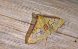 Crambidae; Pyraustinae; ?  1121.jpg