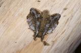 Lasiocampidae; ?  1139.jpg