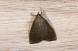 Crambidae; Pyraustinae; ?  1141.jpg