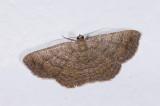 Geometridae;  1151.jpg