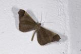 Hedylidae; Macrosoma stabilinota?  1152.jpg