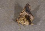 Geometridae; Ennominae;   2004.jpg