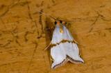 Crambidae; Crambinae; Argyria sp.  2049.jpg