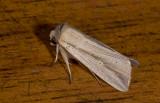 Noctuidae; Noctuinae; Leucania sp.?  2050.jpg