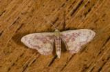 Geometridae; Larentiinae; Eois sp.?  2055.jpg