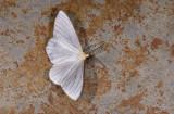 Geometridae; Ennominae; Leucula sp.?  2057.jpg