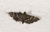 Crambidae; Spilomelinae?  2061.jpg