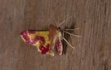 Geometridae; Larentiinae; Eois sp.?  2063.jpg