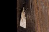 Crambidae; Crambinae;  2086.jpg