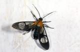 Erebidae; Arctiinae; Arctiini; Cosmosoma sp. ?  2101.jpg