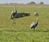 Dance of the Cranes, Merced NWR November 2012