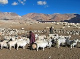 Tethering goats for milking