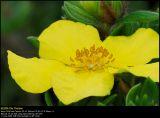 Shrubby Cinquefoil (Buskpotentil / Potentilla fruticosa)