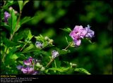 Rose-of-Sharon (Syrisk Rose / Hibiscus syriacus)