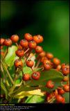 Firethorn shrub (Ildtorn / Pyracantha ssp.)