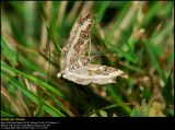 Common Carpet (Alm. Bladmåler / Epirrhoe alternata)