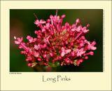 Red Valerian (Sporebaldrian / Centranthus ruber)
