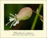 Bladder Campion (Blæresmælde, Silene vulgaris ssp. vulgaris)