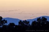 Common Cranes - Sierra de Gredos - Back to roost