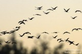 Common Cranes - Back to roost