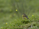 EUROPEAN GREENFINCH - CARDUELIS CHLORIS - VERDIER D'EUROPE