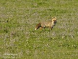 RED FOX - VULPES VULPES - RENARD ROUX