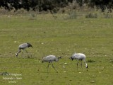 COMMON CRANE - GRUS GRUS - GRUE CENDREE