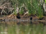 Water Rail chicks