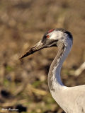 Common Crane adult