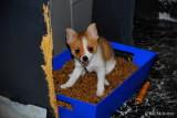 Tiny female Teacup Pomeranian Chihuahua $800