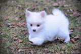 Fluffy male Pomeranian Chihuahua puppy $1,000