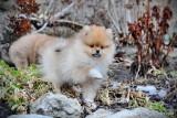 Very tiny Teacup Creme female purebred Pomeranian