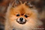 Adult male Pomeranian $700