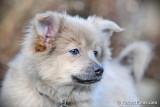 Blue male Pomeranian $600