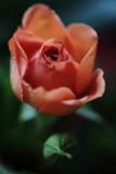 20130223 - Rose