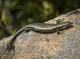 Southern Snow Skink
