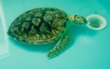 Turtle in for Rehab