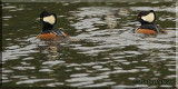 Two Hooded Mergansers Cruising Costello Creek