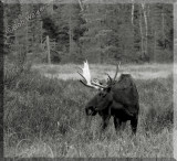 Large Bull Moose Up Close