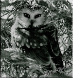 Northern Saw-whet Owl Watching Me Up Close