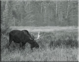 The Large Bull Moose Grazes As I Watch And Photograph Him