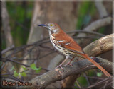 The Brown Thrasher (Toxostoma rufum) Gallery