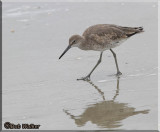 A Willet Shore Bird Forages