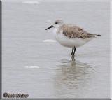 A Sanderling Shore Bird Wading