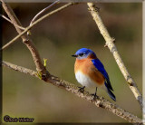 Woodland & Grassland Bird Gallery