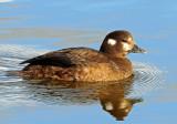 Duck, Harlequin (Oct . 24, 2012)