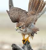 Falcon, Prairie (Dec. 6,  2012)