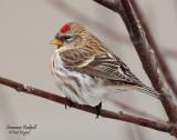 Redpoll, Common (Dec. 12, 2012)
